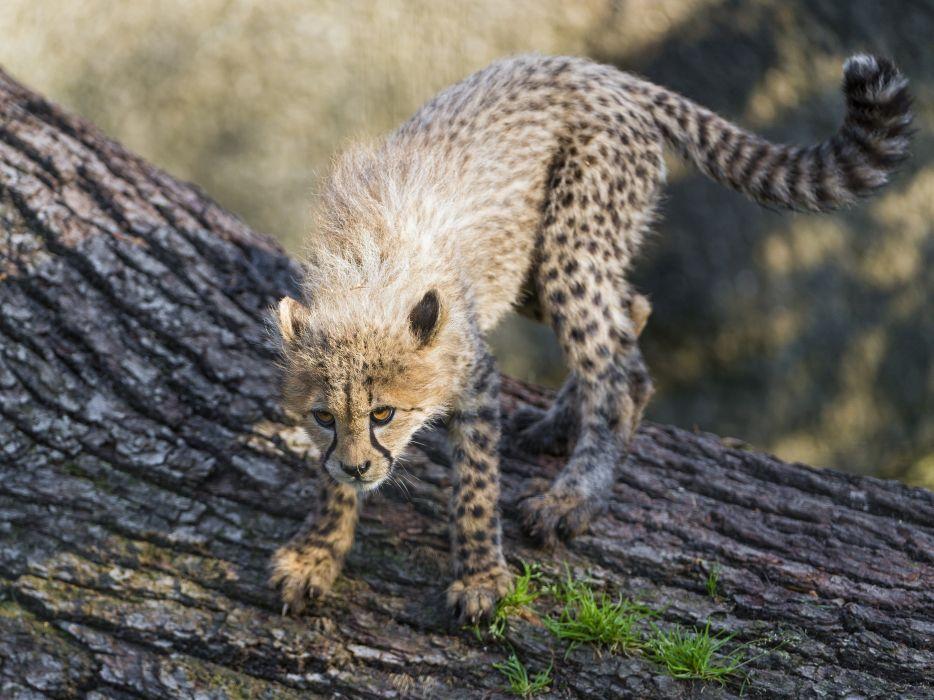 big cat Cheetah wildlife predator big wallpaper