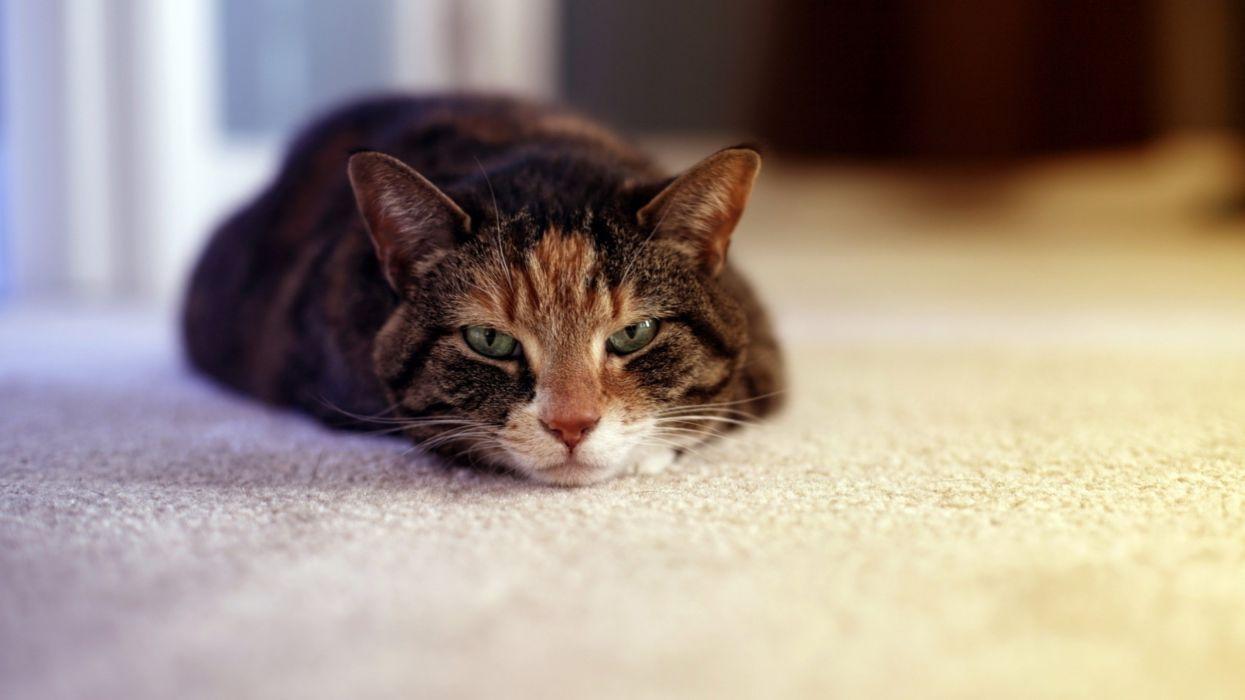 gato comun acostado animales felino wallpaper