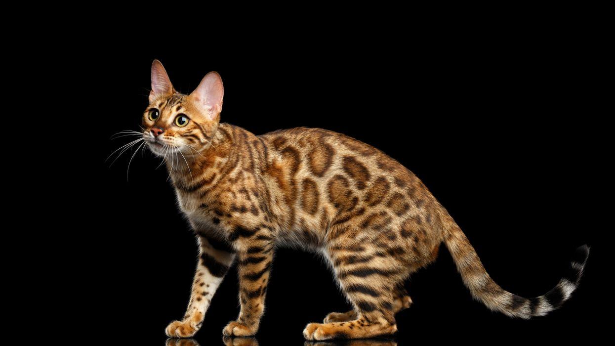 gato leopardo felino animales wallpaper