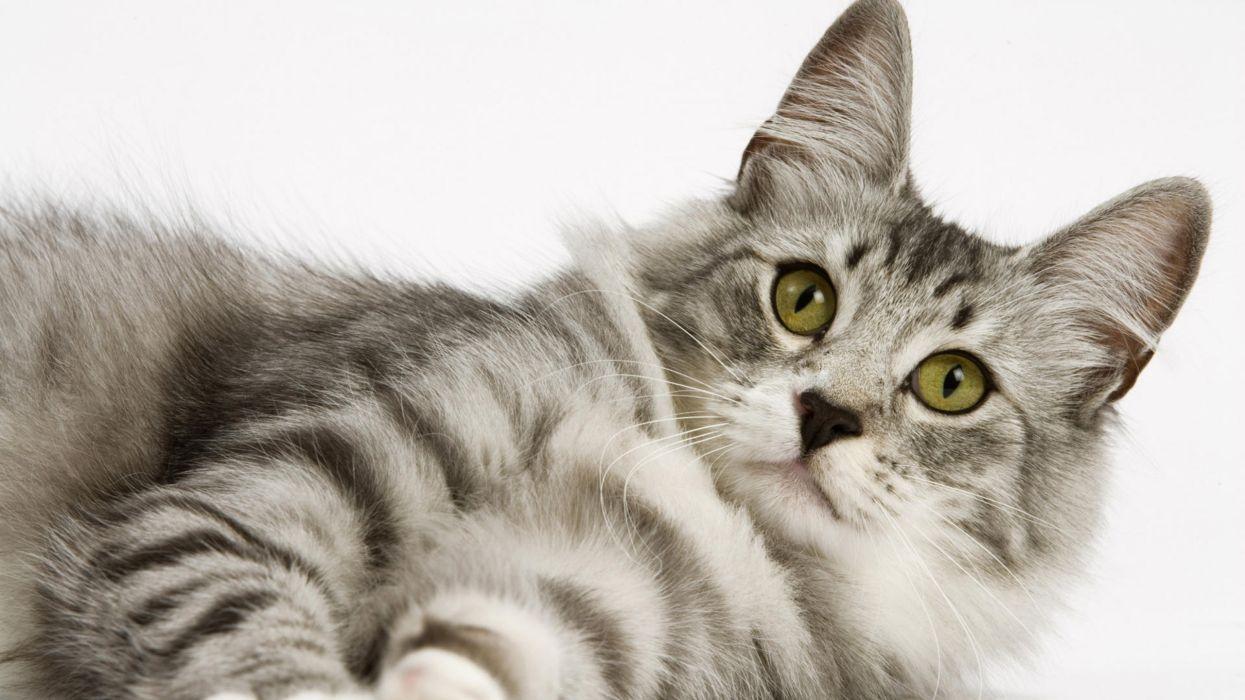 gato felino acostado animales wallpaper
