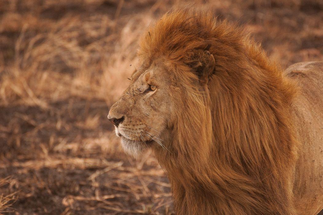 lion cat big predator wildlife nature wallpaper