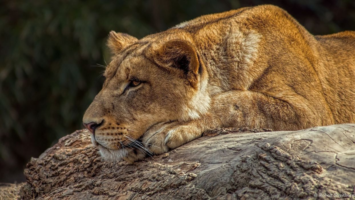 lion cat big predator wildlife nature wallpaper