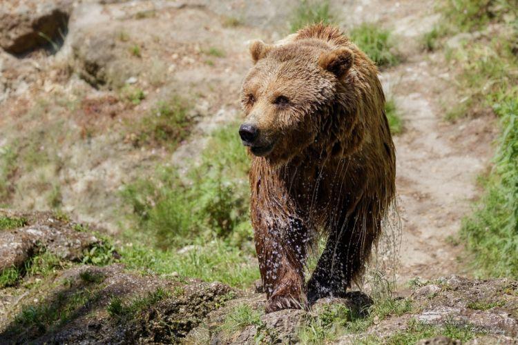 bear wildlife bears nature predator wallpaper