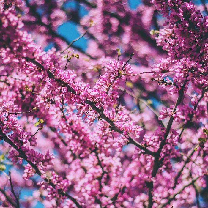 nature Cherry Flowers Pink wallpaper