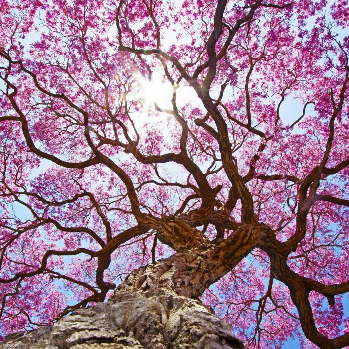 Pink Tree beauty nature wallpaper