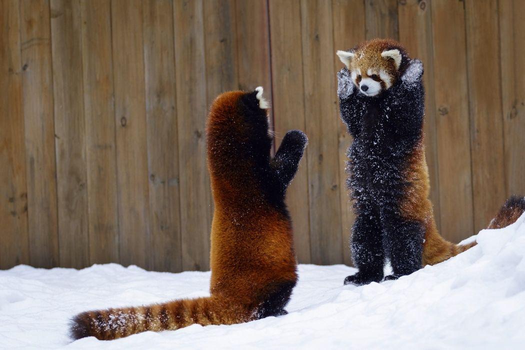 animal panda wildlife nature bear bears wallpaper