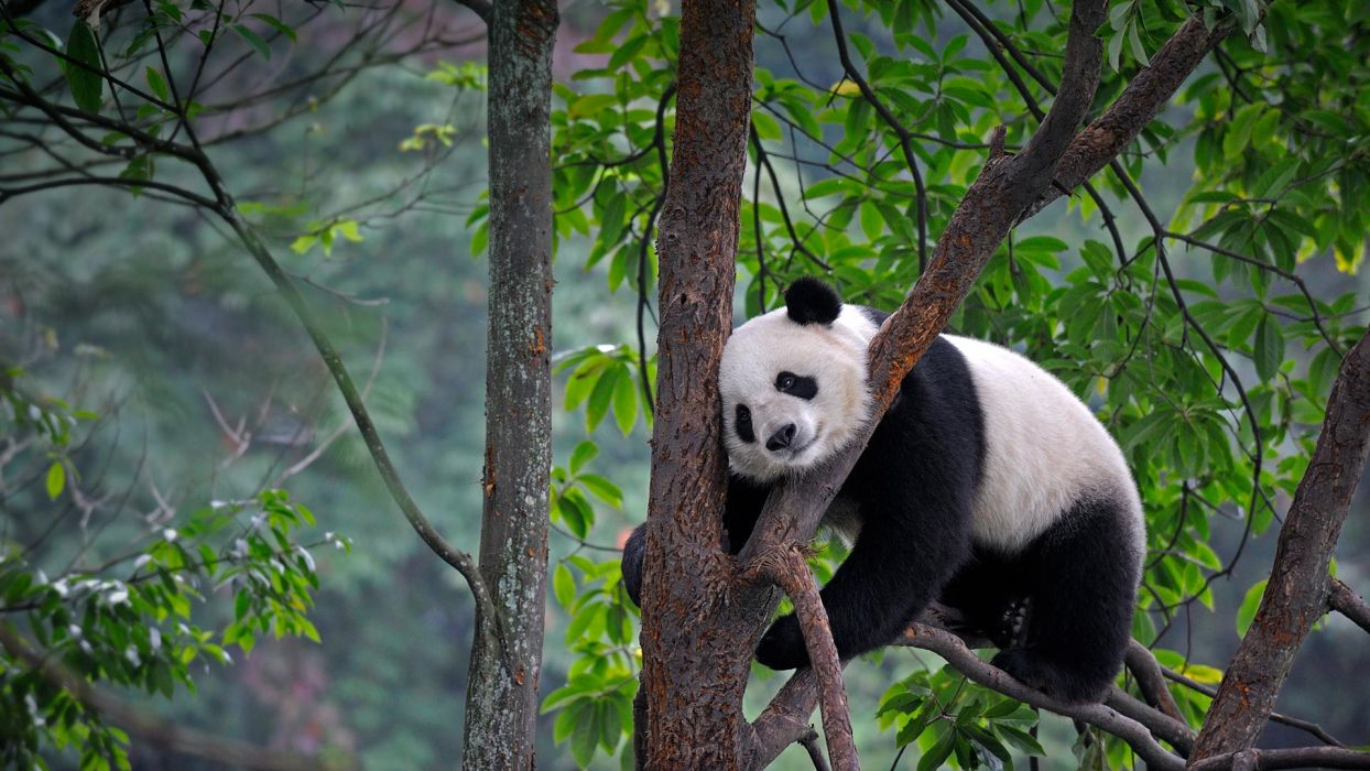 animal panda wildlife nature bear bears wallpaper