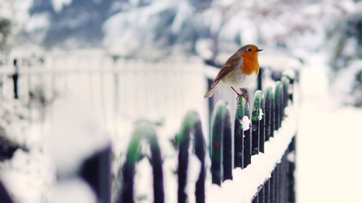 Birds Robins In Snow wallpaper