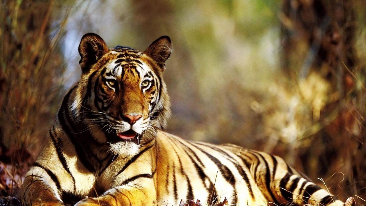 Animals Tiger Autumn wallpaper