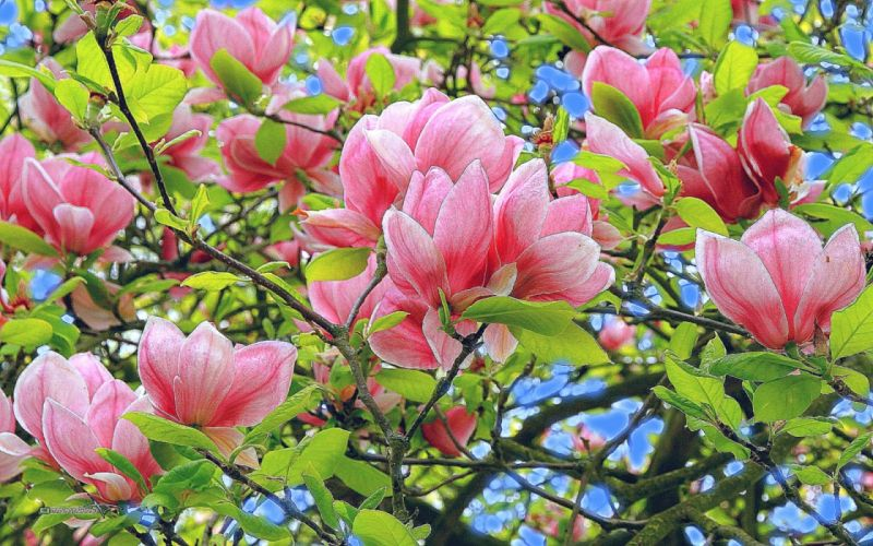 flores cerezo arbol naturaleza wallpaper