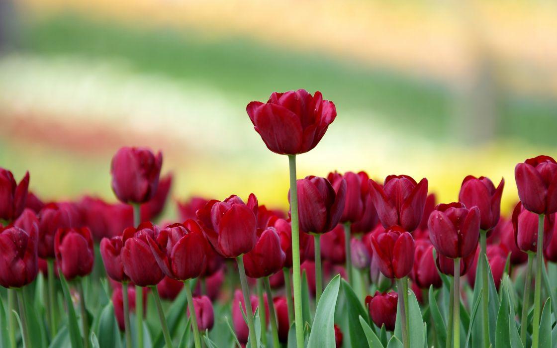 tulipanes rojos flores naturaleza wallpaper