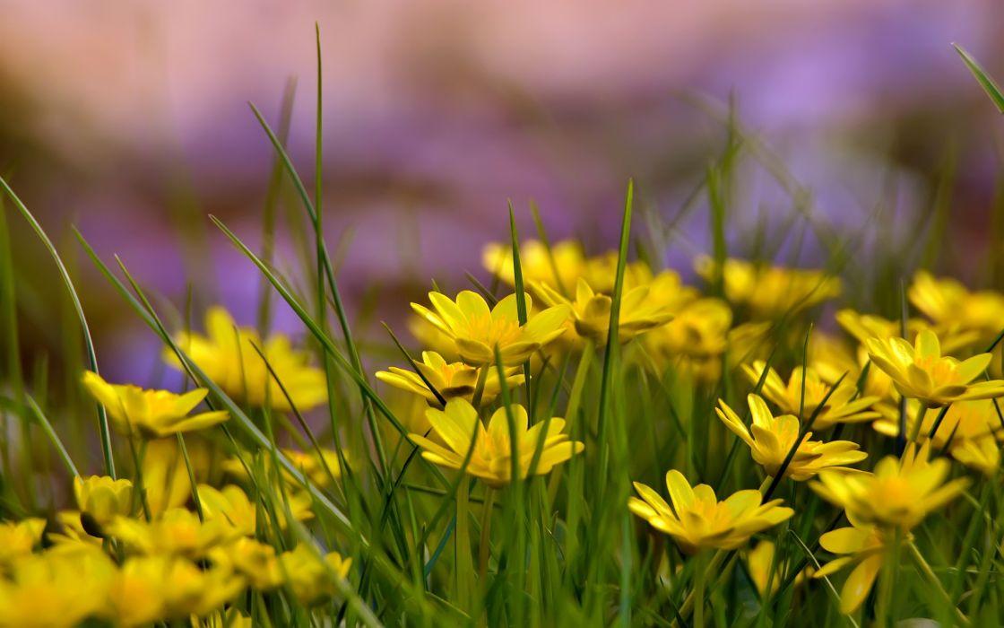 flores amarillas silvestres naturaleza wallpaper