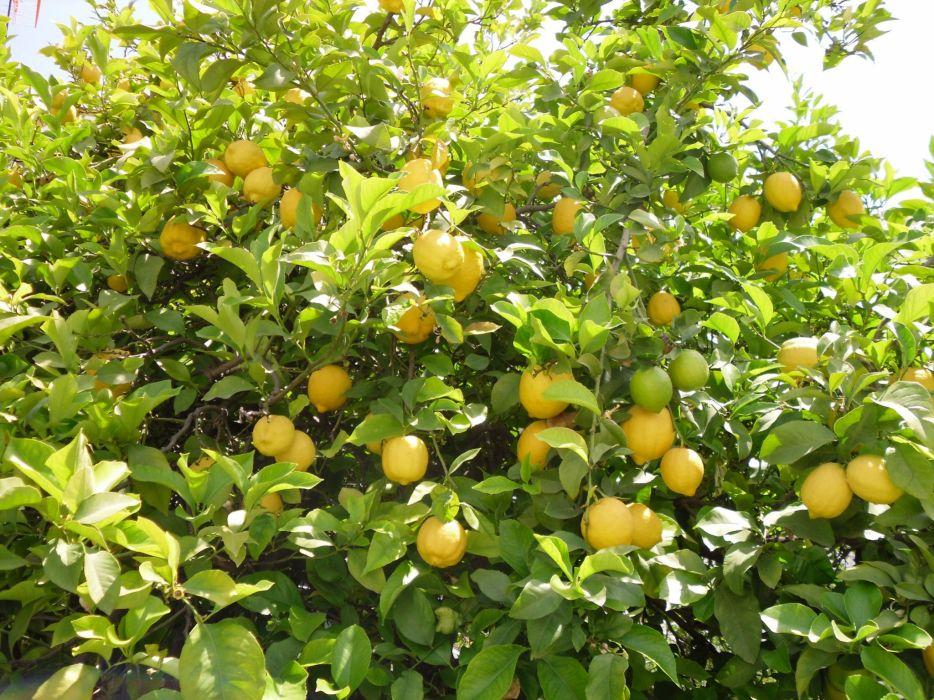 limonero limones frutas naturaleza wallpaper