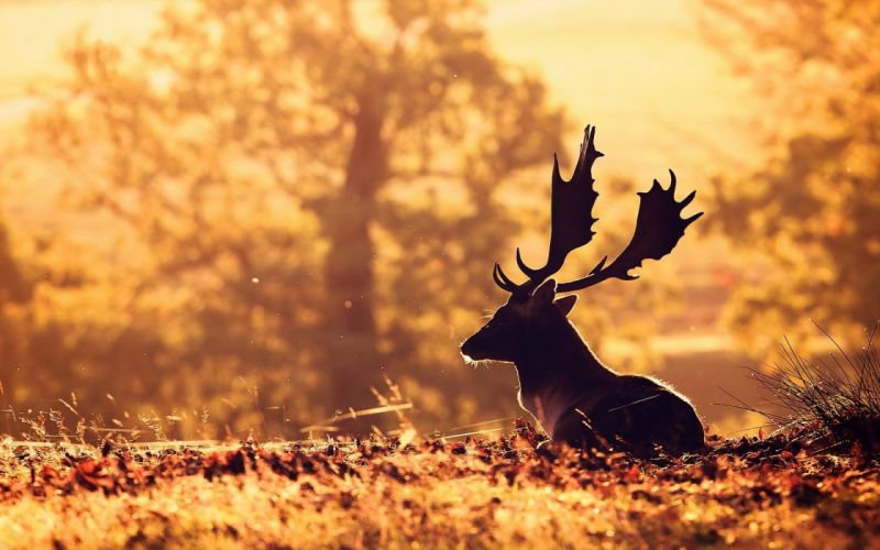 Animals Deer wallpaper