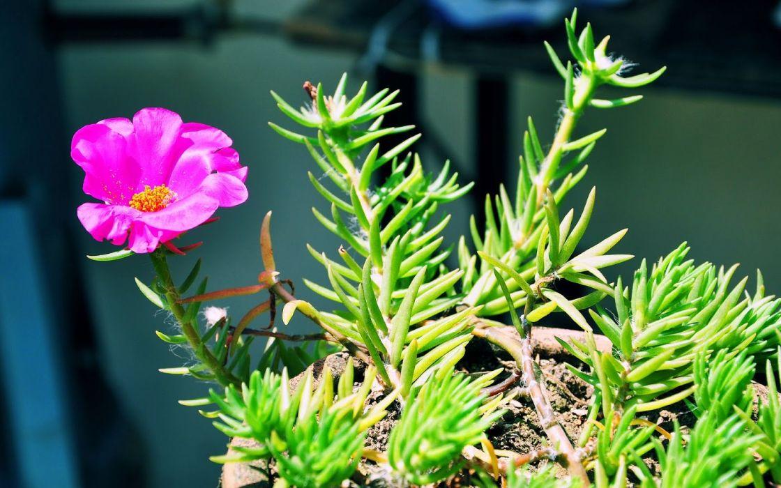 planta naturaleza flor rosa wallpaper