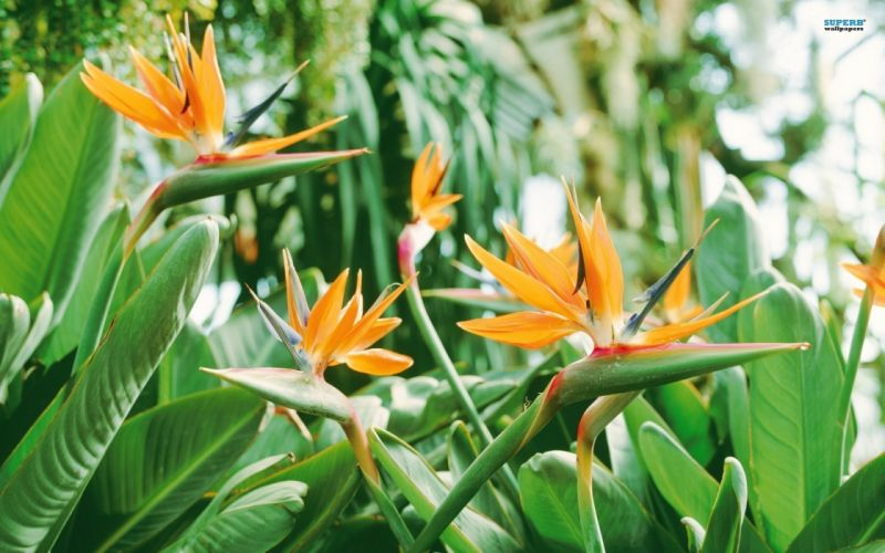 strelitzia planta exotica flores naturaleza wallpaper