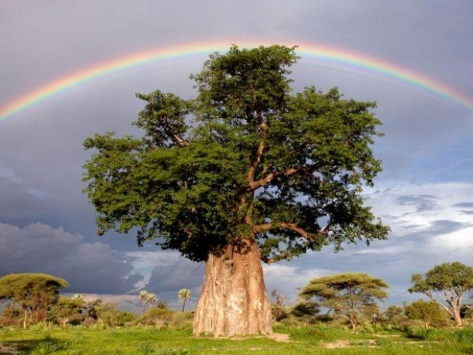 solitario arbol baobab arco iris naturaleza wallpaper