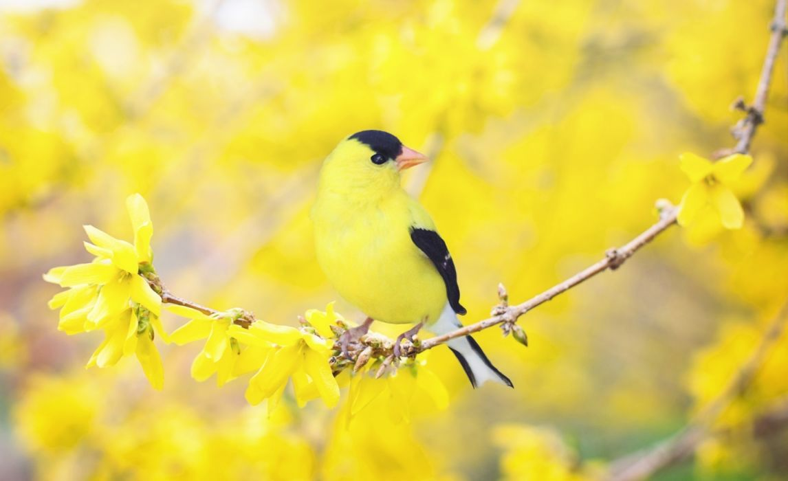 spring nature birds blurred flowers wallpaper
