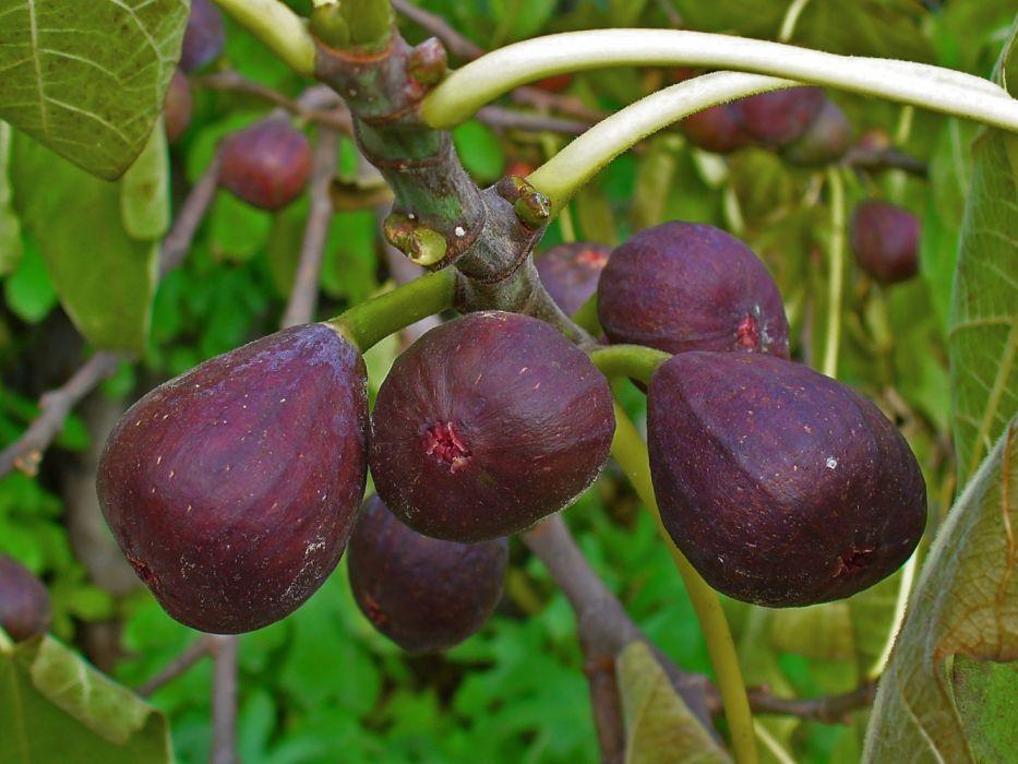 higos arbol frutas naturaleza wallpaper