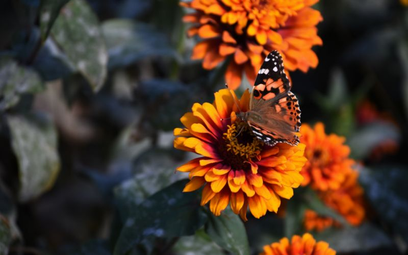 nature beauty flower butterfly wallpaper