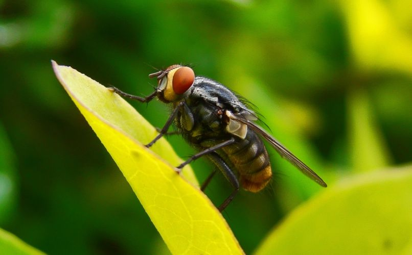 mosca insecto hoja animales wallpaper