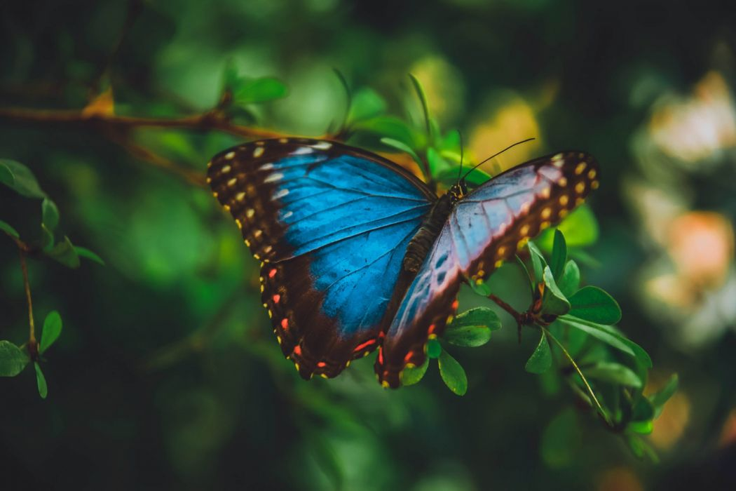 butterflies macro insects nature wallpaper