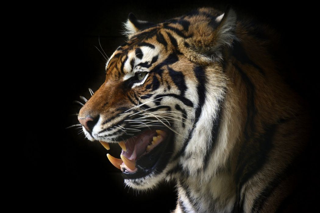 by shaun wilson photography animals tigers wallpaper