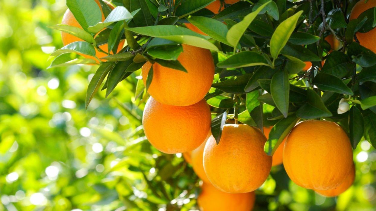 frutas naranjas arbol naturaleza wallpaper