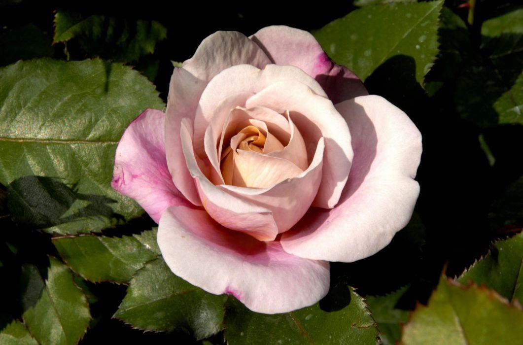 nature rose pink flower wallpaper
