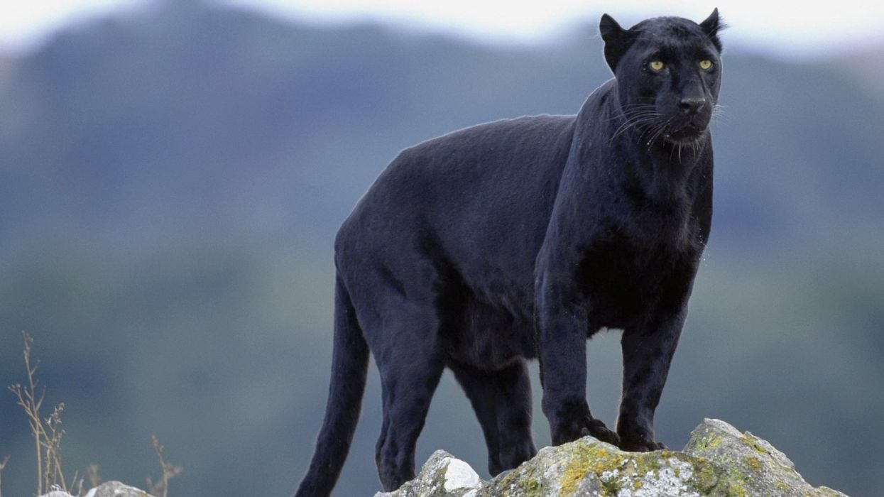 pantera negra animales wallpaper