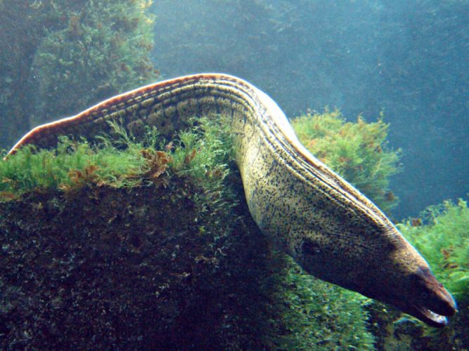 Muraena pez animales wallpaper