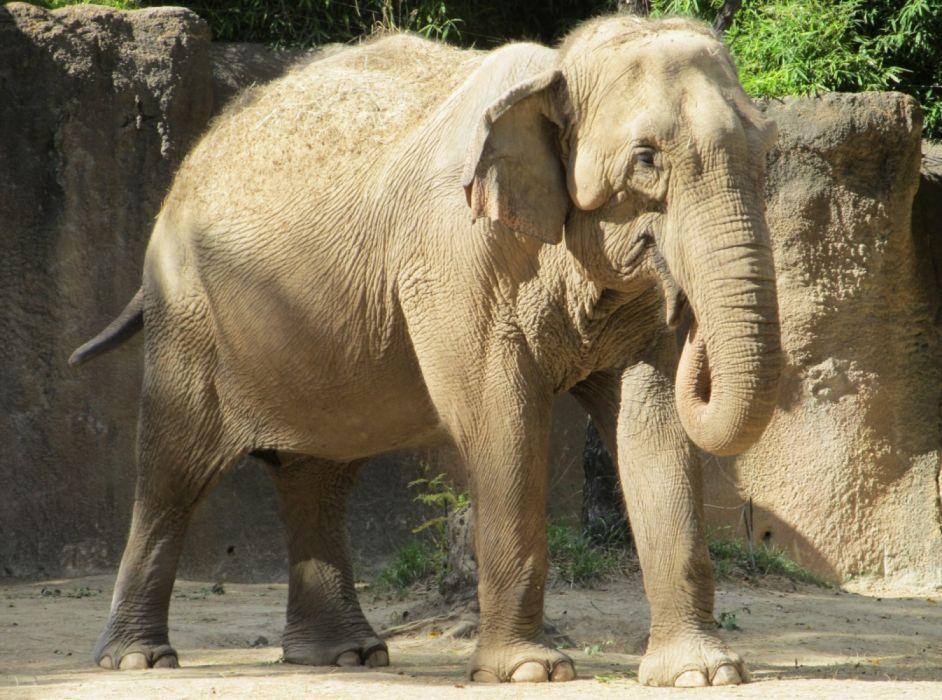 paquidermo elefante animales wallpaper