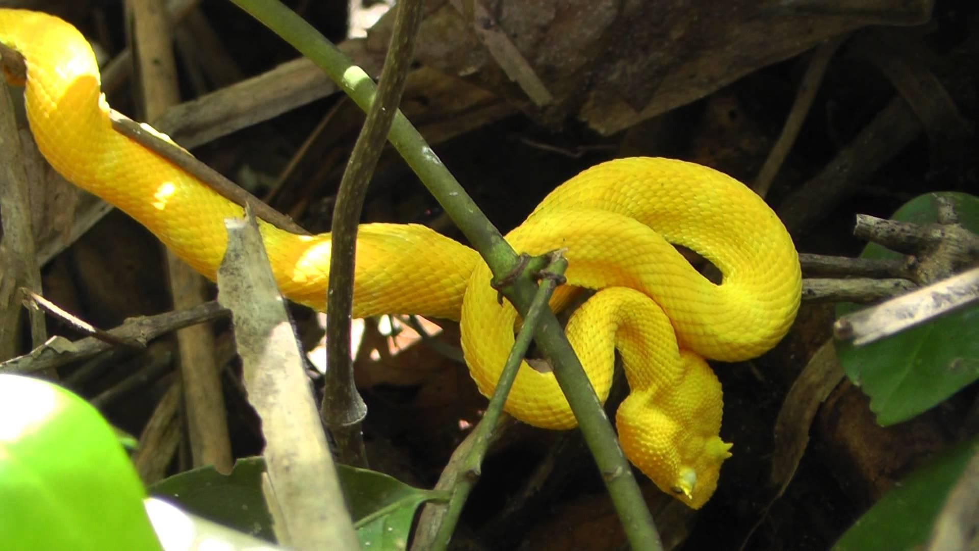 Snakes Viper Wallpaper 1920x1080 1167795 Wallpaperup