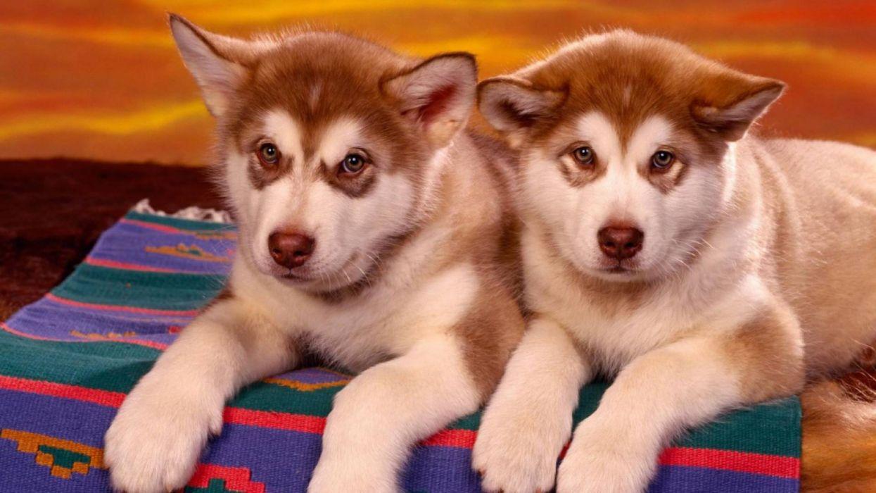 cachorros perros hucheys siberianos animales wallpaper