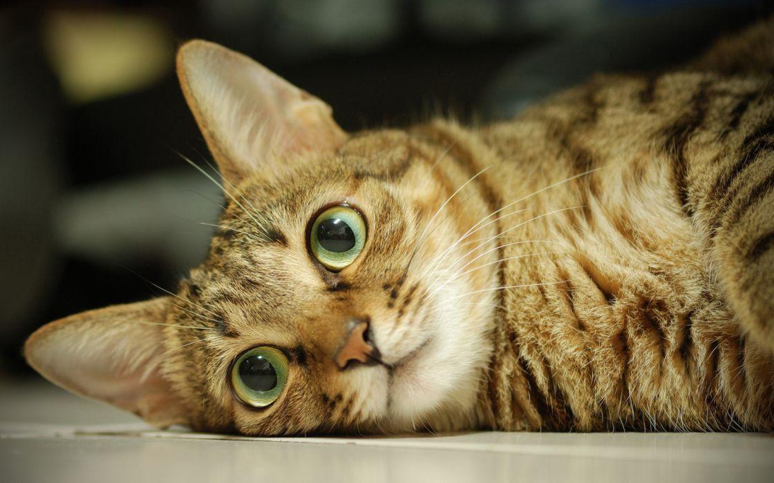 gato comun acostado felino animales wallpaper