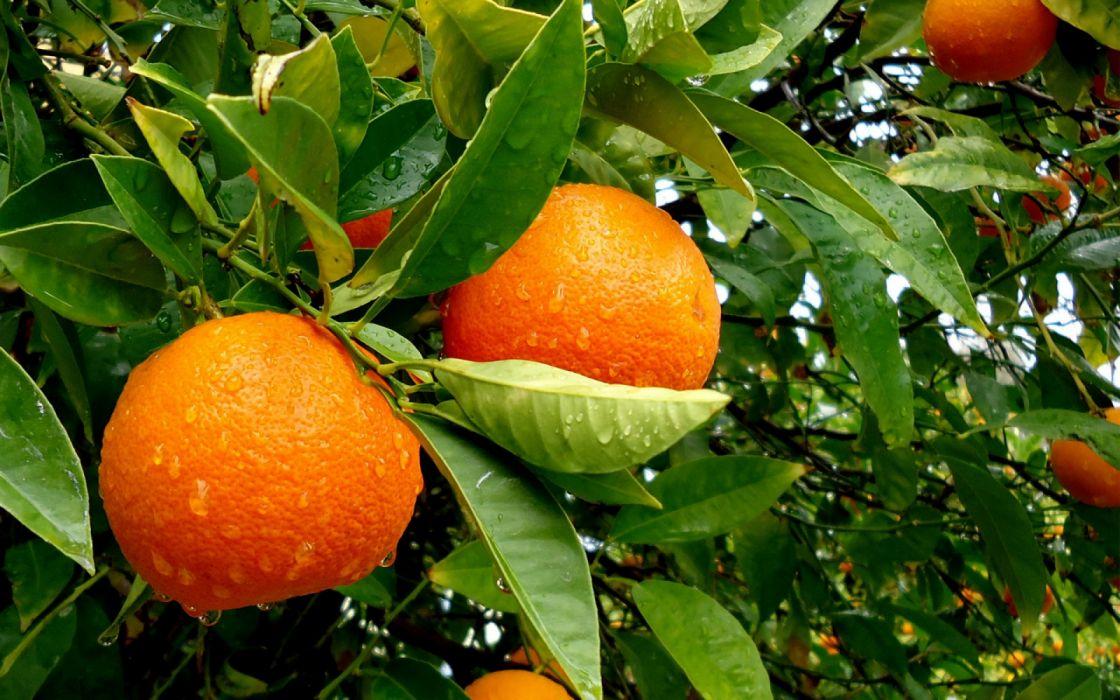naranjas arbol naturaleza hojas frutas wallpaper