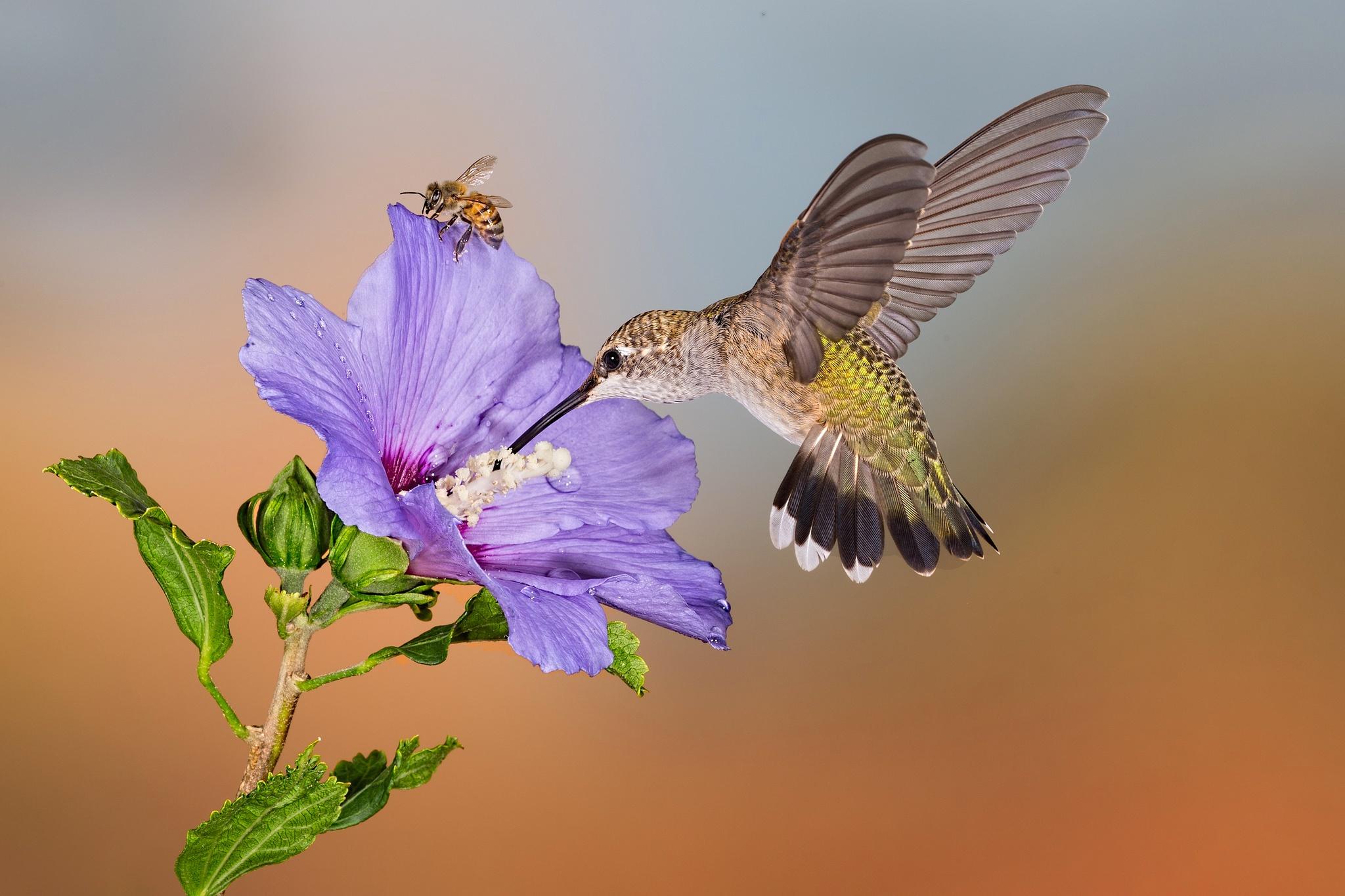 Калибри на цветке  № 2039411 бесплатно
