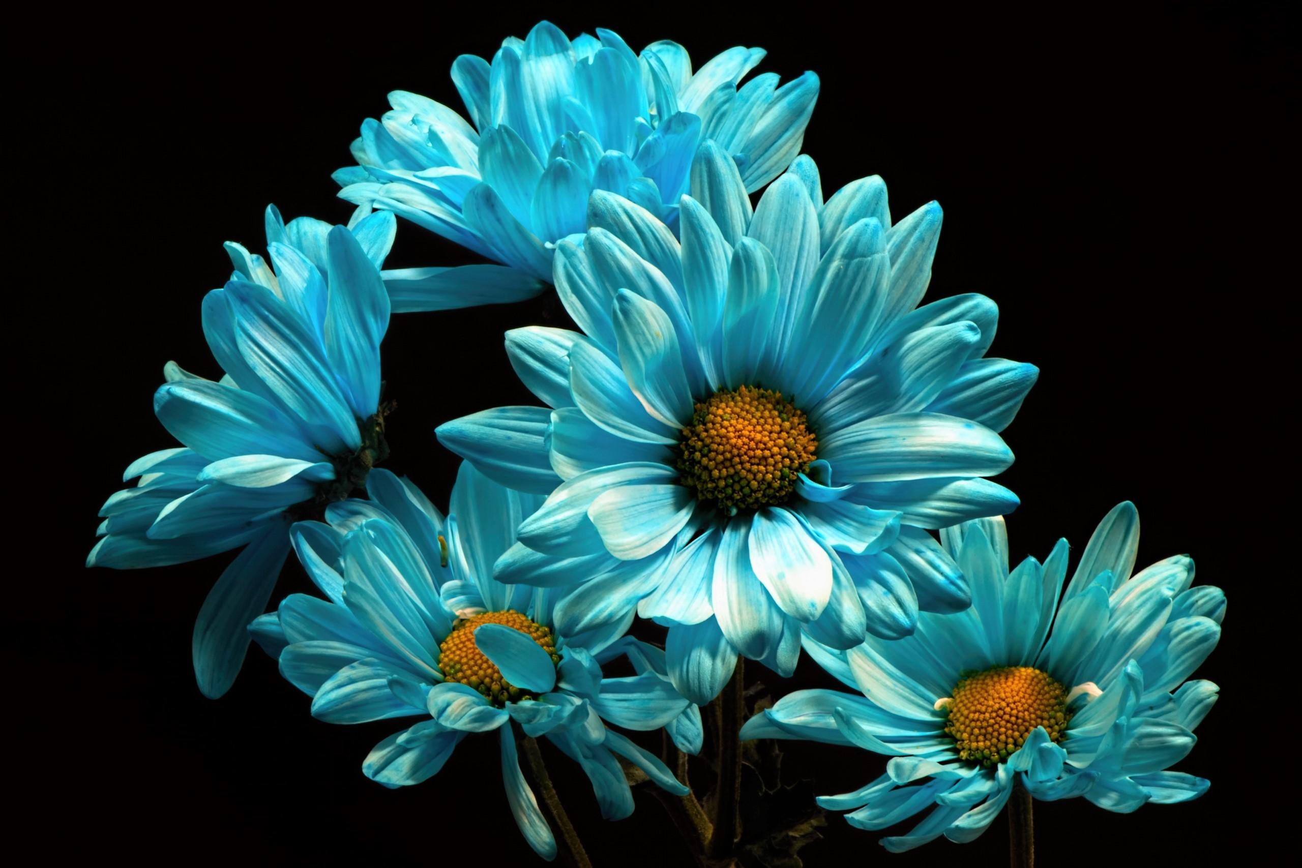 Blue Flower Daisy Earth Flower wallpaper | 2560x1707 ...