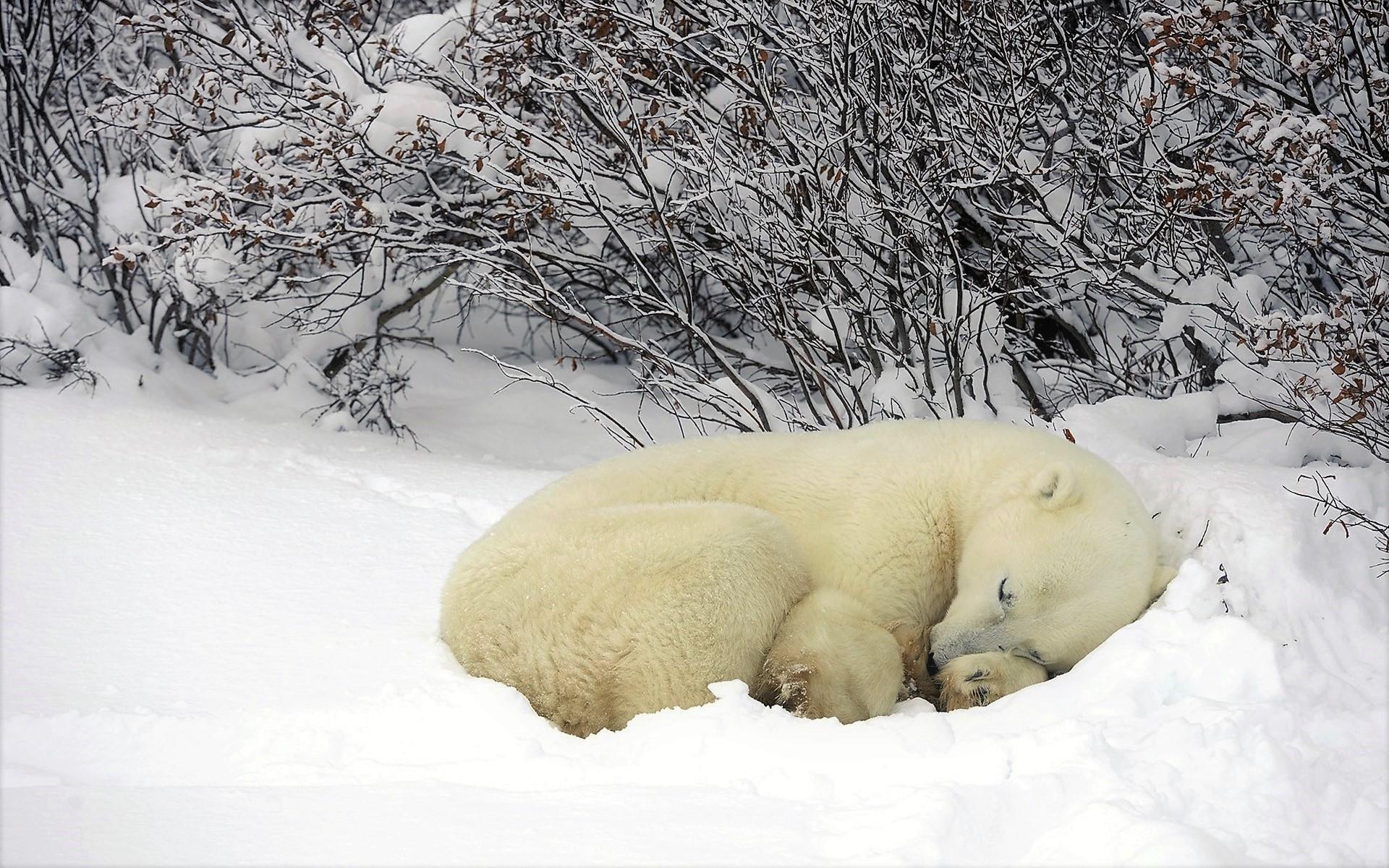 animal canada cute polar bear sleeping snow winter. Black Bedroom Furniture Sets. Home Design Ideas