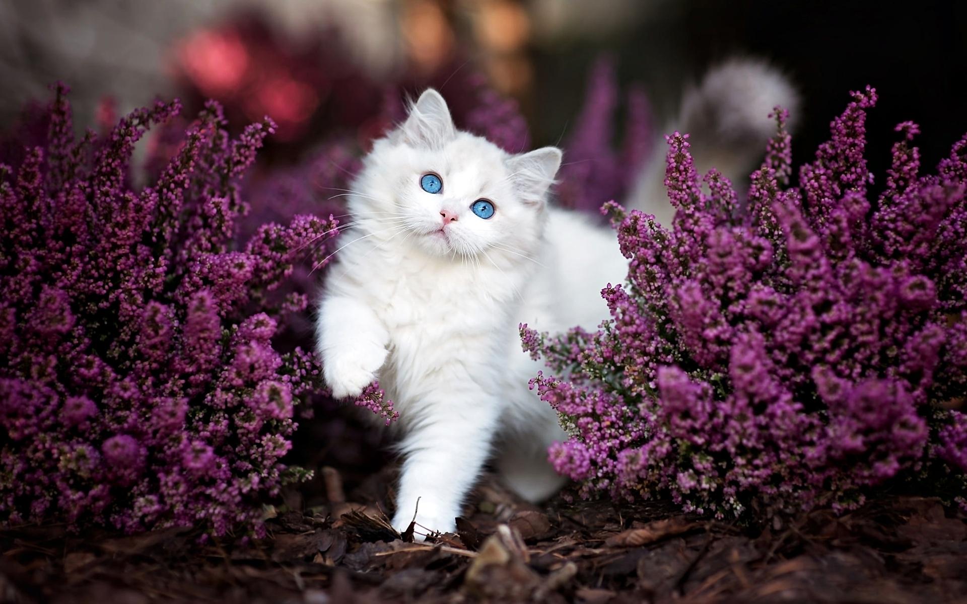 природа животные кот белый nature animals cat white  № 102716 бесплатно