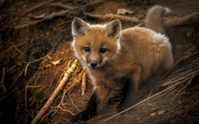 Baby fox animal