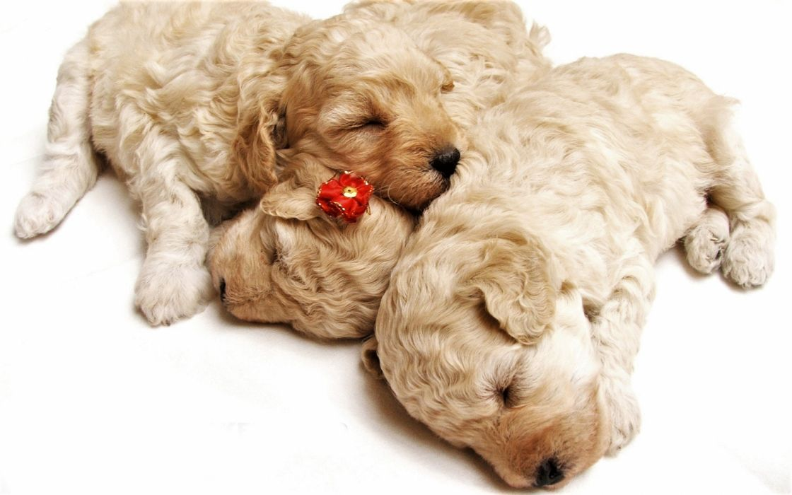 Animal Baby Animal Cute Dog Puppy Sleeping Wallpaper 1920x1200 1192134 Wallpaperup
