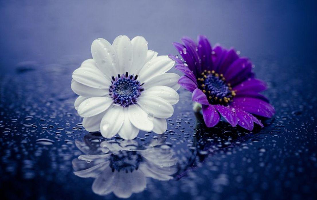 Close Up Daisy Flower Purple Flower Water Drop White Flower