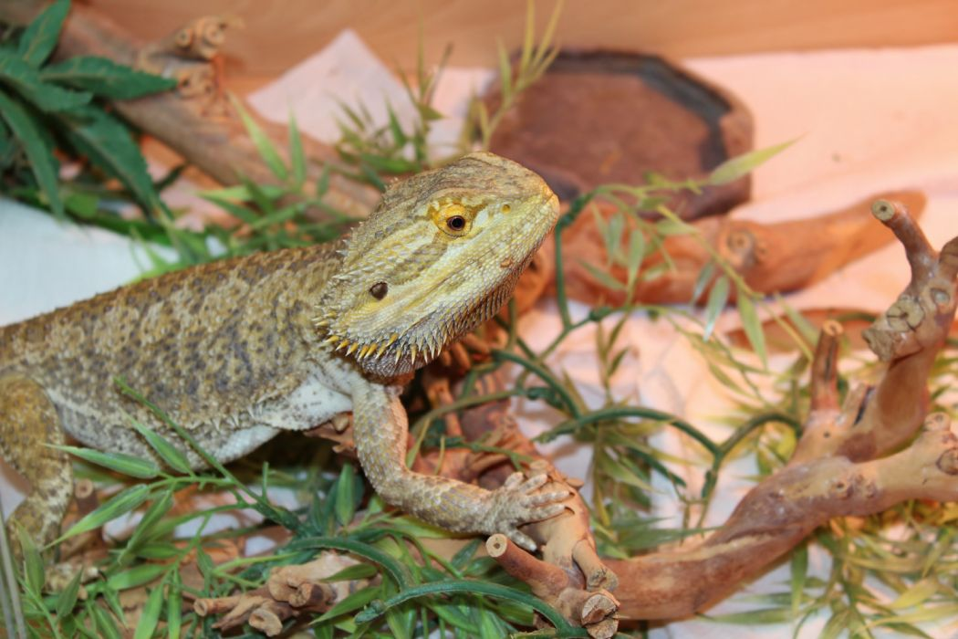 bearded lizard life span - 1050×700