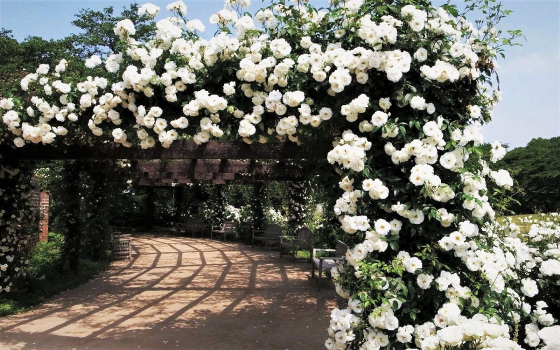 Bench Garden Rose Bush White Flower Wallpaper