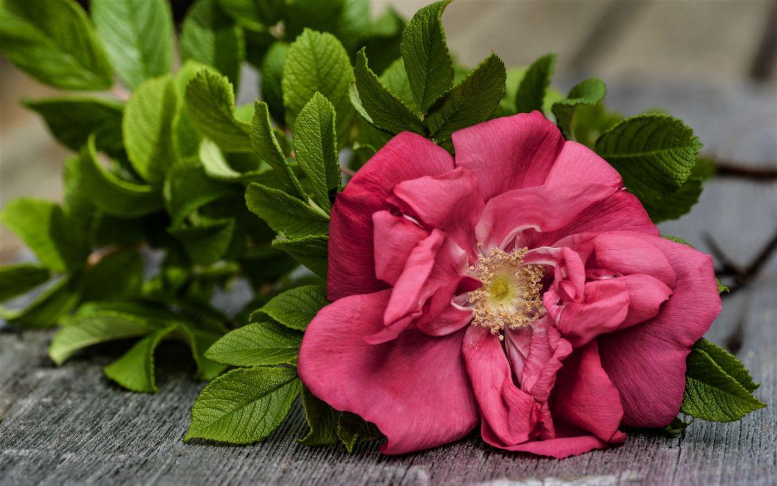 wallpaper download rose flower