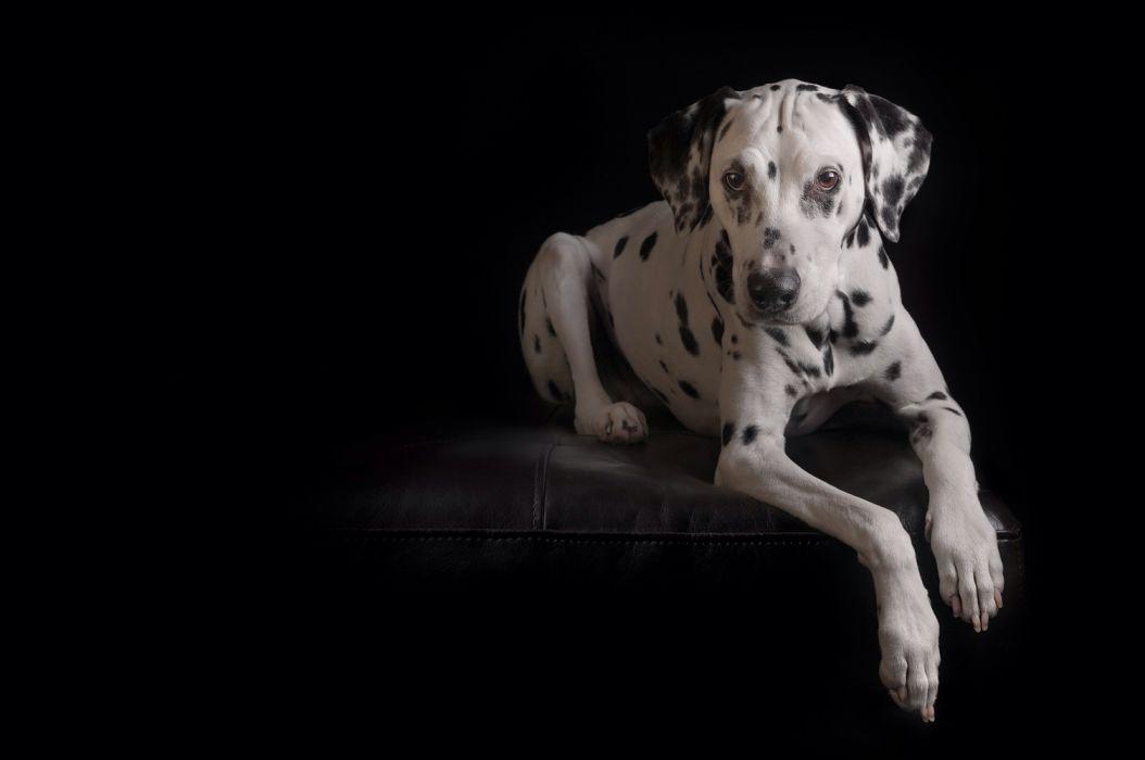 Dalmatian Dog Pet Wallpaper 2048x1360 1198210 Wallpaperup