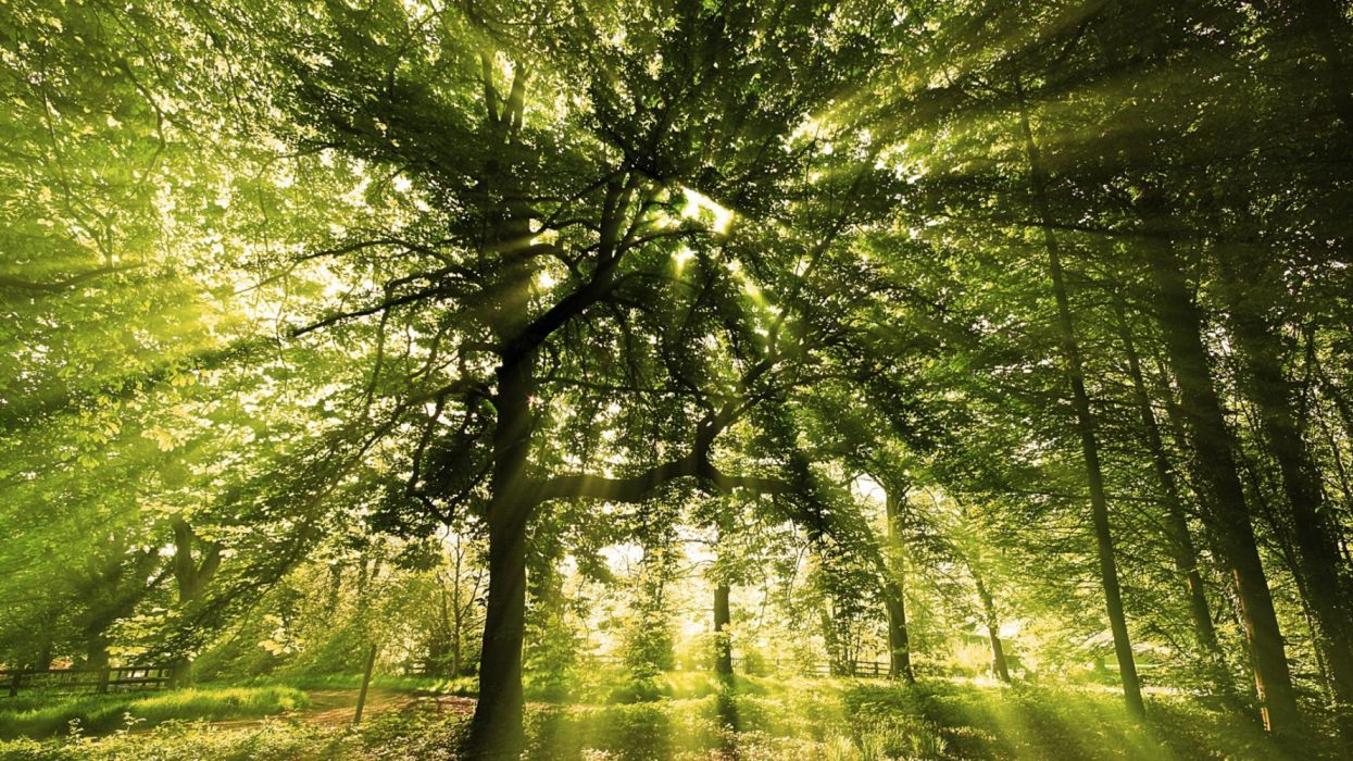 sunny-forest- sun forest landscape trees wallpaper