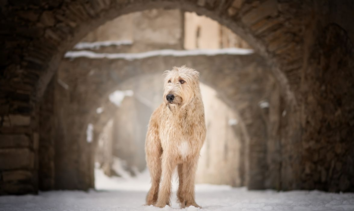 Dog Pet Soft-coated Wheaten Terrier Winter wallpaper