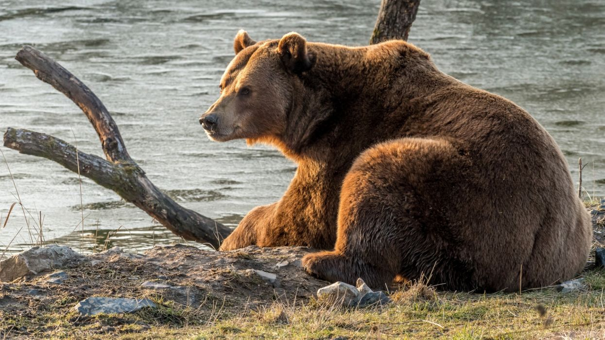 Bear Wildlife predator wallpaper